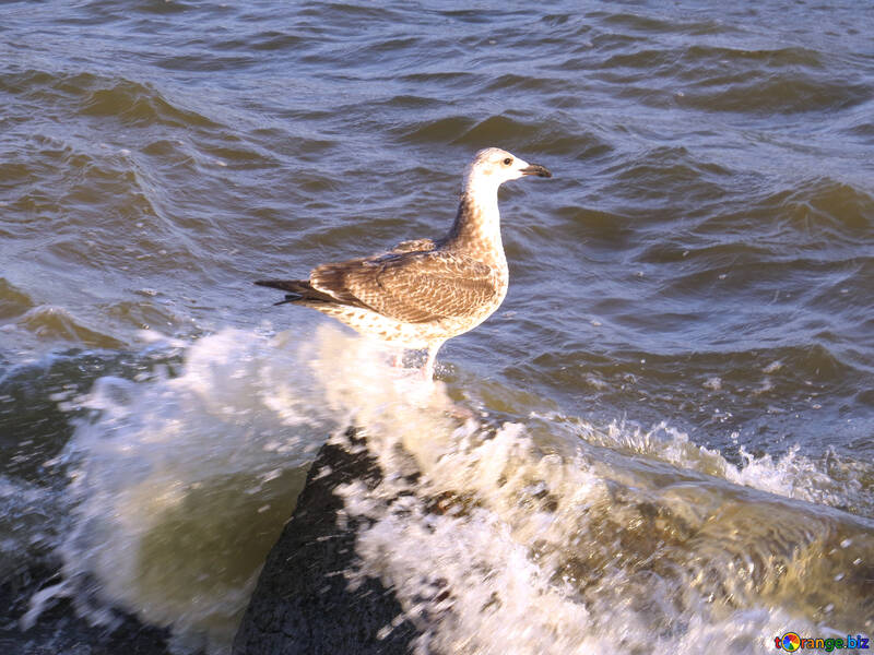 Bird standing in water Seagull on a rock №54424