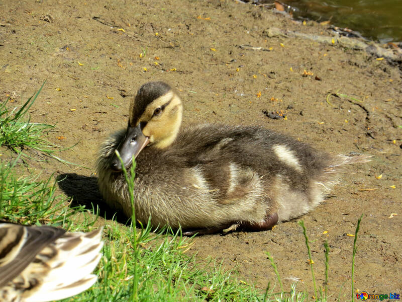 duck sitting №54255