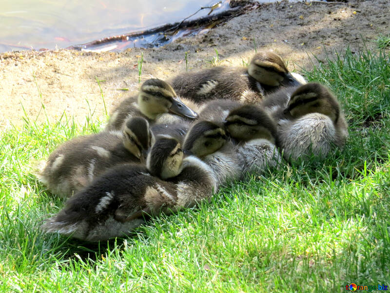 ducklings cuddleing to keep warm №54258