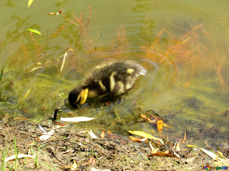 little duck at the edge of lake №54266