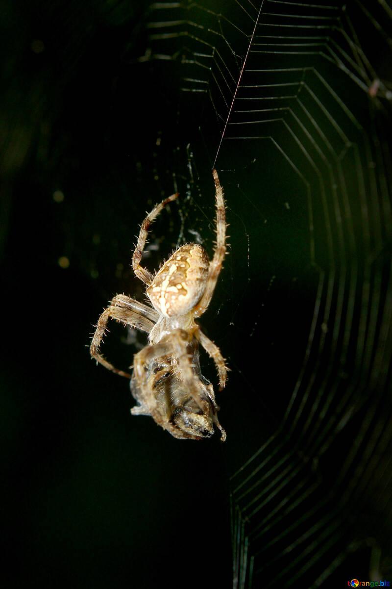 Spider on web eating food №54143