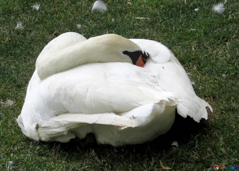 Birds swan №54322