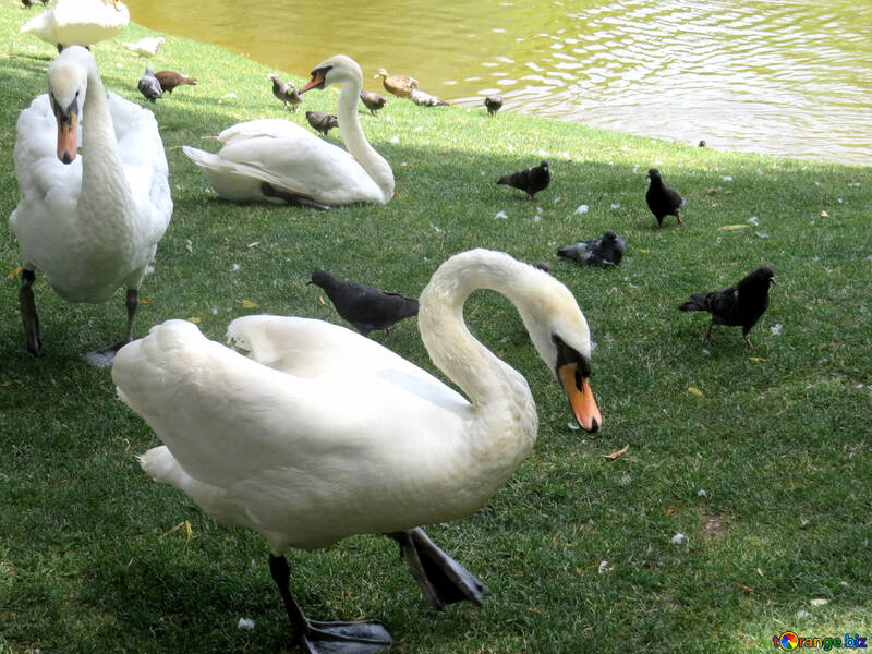Swans by the lake with pigeons on grass №54326