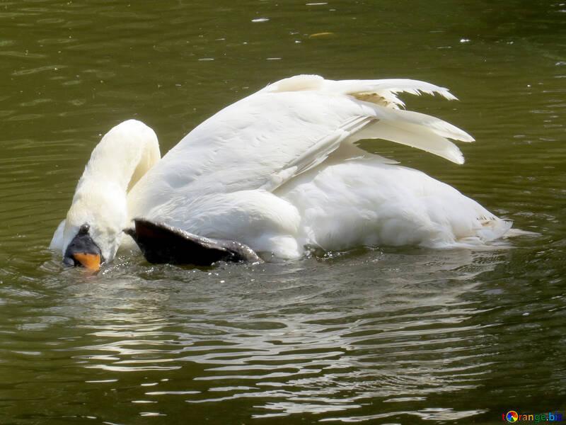 A swimming Swan bird №54365