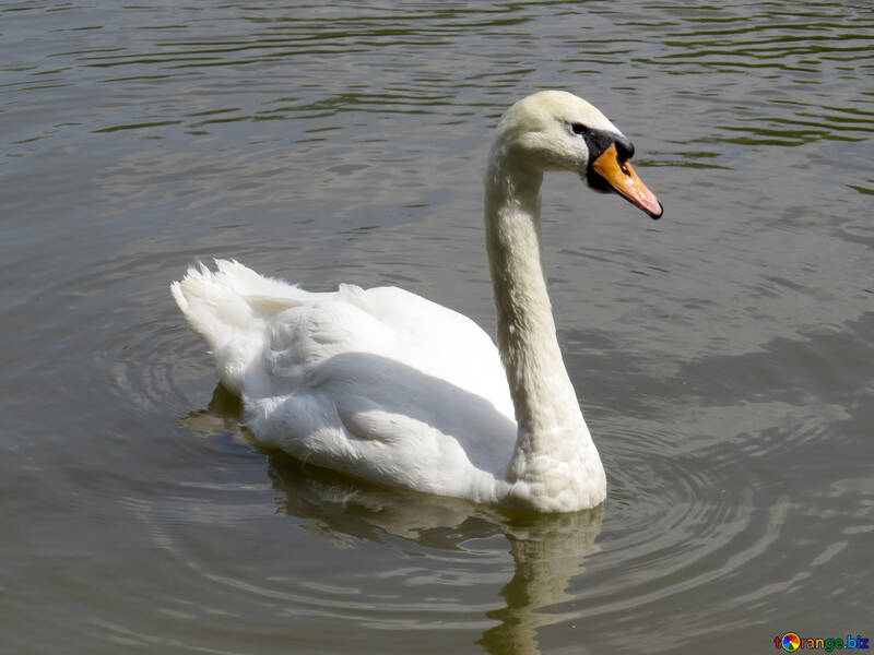 A swan swimming in water №54366