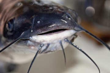Catfish №6008