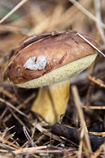 Mushroom  Polish №6142
