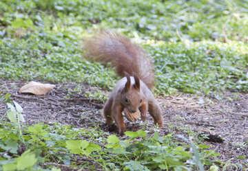 Eichhörnchen Felle Nuss №6133