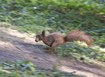 Squirrel runs with nut in his teeth №6132