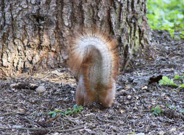 Squirrel   bushy  tail №6131