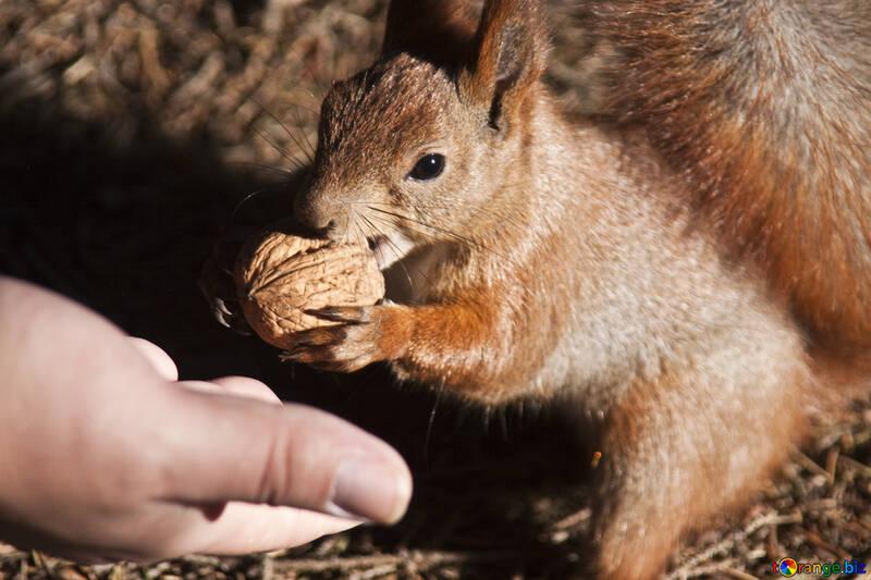 Eichhörnchen №6130