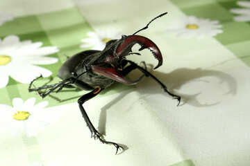 Beetle  deer №7346