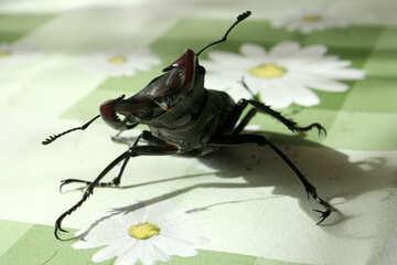 Beetle  deer  attacks №7347