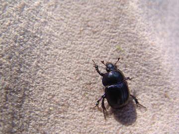 Dung- beetle №7393