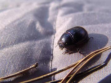 Round  beetle №7391