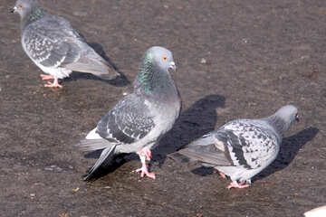 Pigeon №7449
