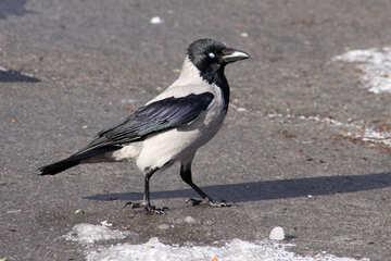 Crow №7467
