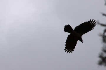 Raven  flying №7543