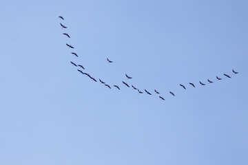Flock  migratory  Birds №7504