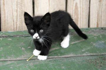 Black   White  kitten №7497