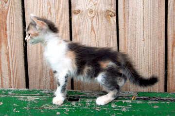 Curious  kitten №7611