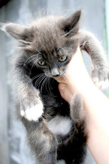 Kitten  Gray  Color №7495