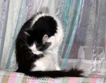 Cat  Licking  wool №7402
