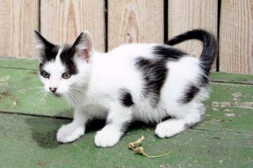 Offerta gattino №7424