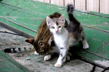 Cat  and  kitten №7612