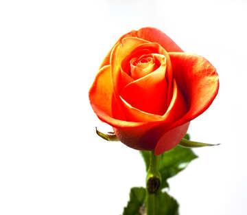 One  rose. №7177