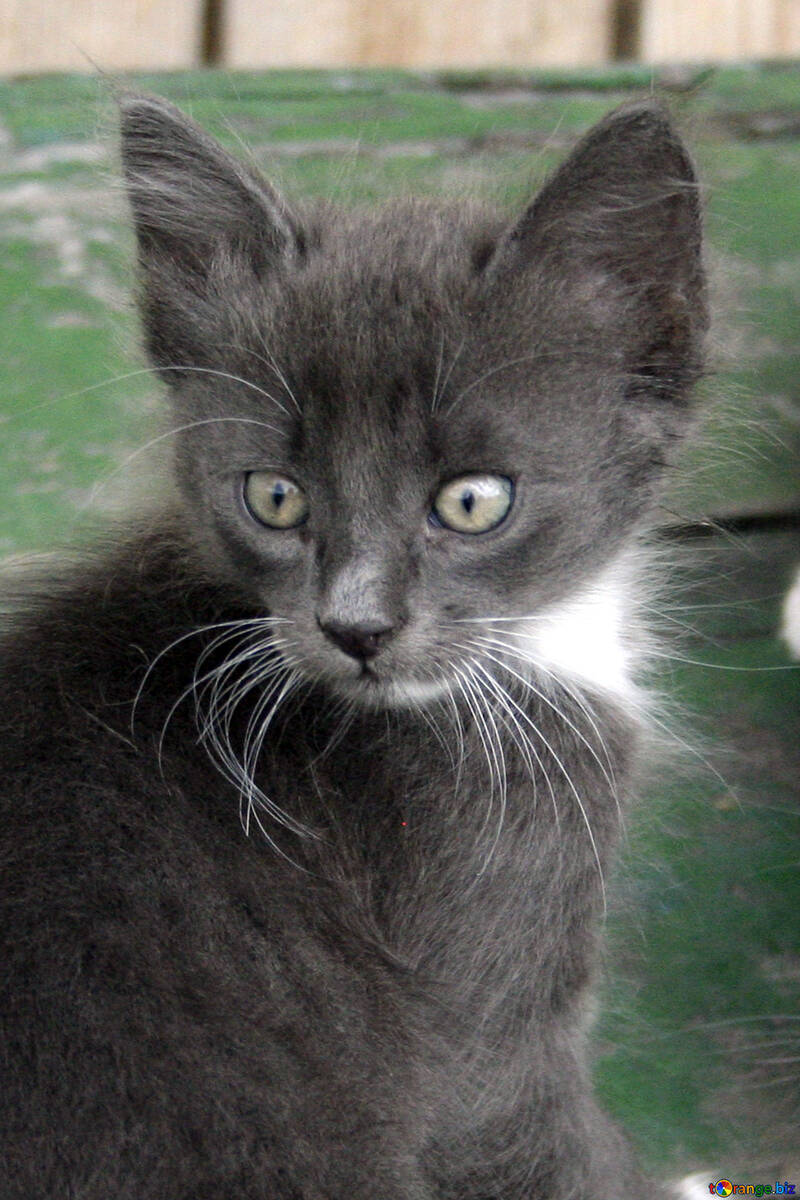 Grey  kitten №7494