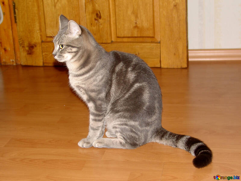 Striped  Gray  cat №7609
