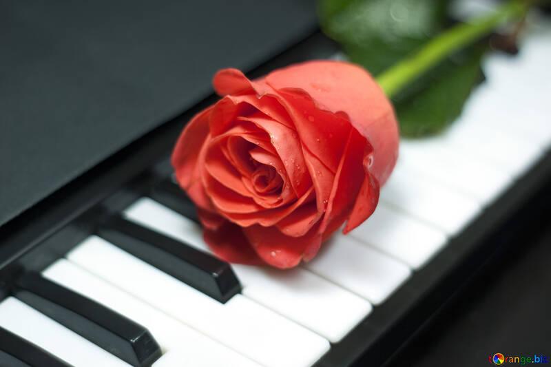 Rosa  at  piano №7253