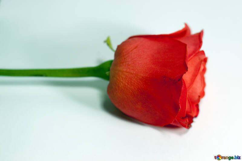 Rosa .  №7174