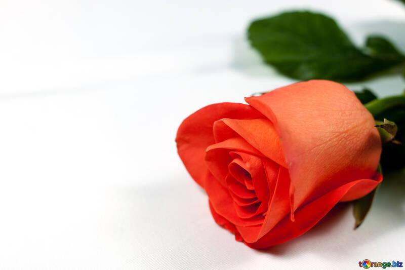 Rosa à affaires table №7199