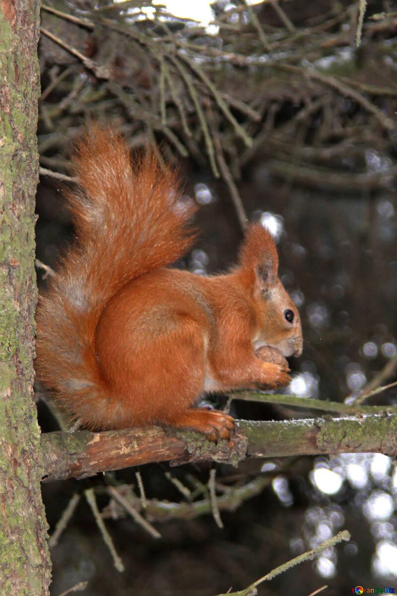 Squirrel  nibbles  Nut №7544