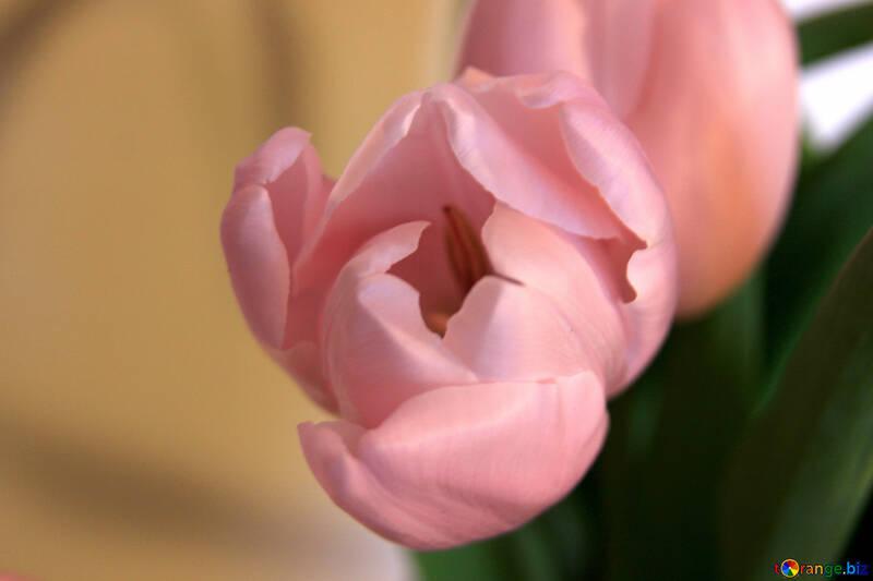 Bud  Tulips . Macro №7598