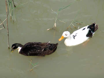 Two  duck №8613