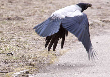 Raven №8699