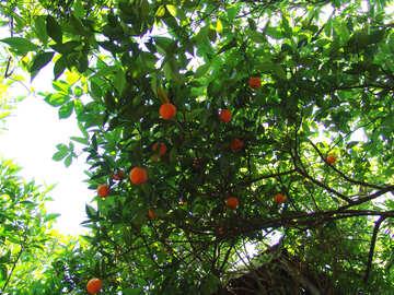 Orange Baum. №8459