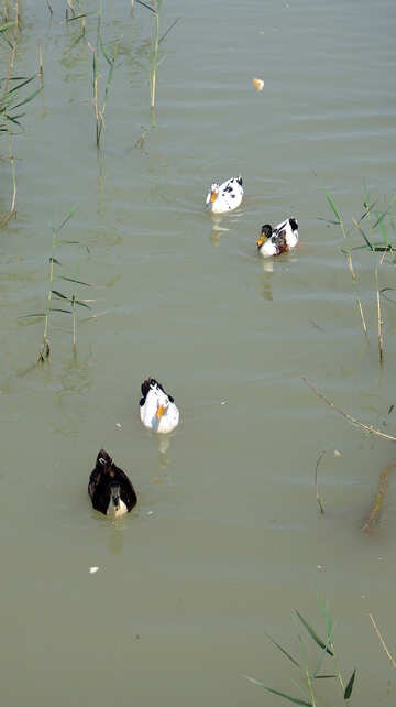 Ducks №8617