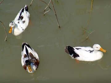 Enten  Hin- und Herbewegung   Wasser №8612