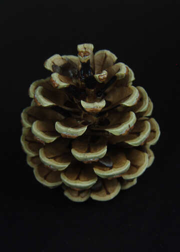 Pinecone  at  black  background №8972