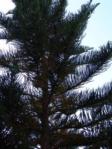 Exotic  conifer  tree №8456