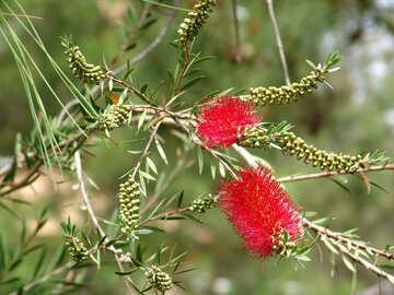 Rot buschig Blume №8445