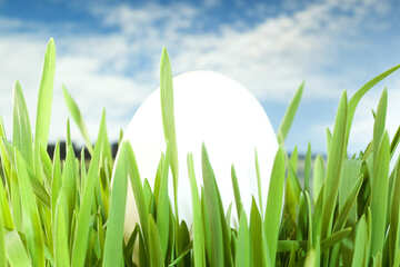 Chicken  White  egg , grass , sky. №8157