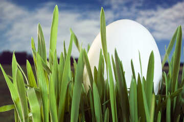 Easter  tradition . Hide  eggs   grass. №8156