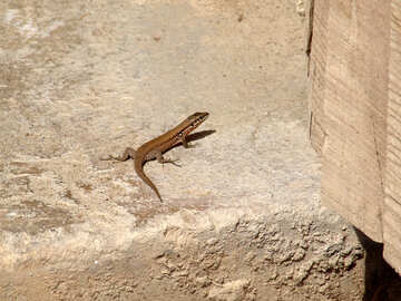 Lizard №8888