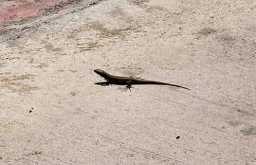 Lizard  at  concrete №8879