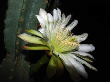 Blooming  cactus №8852